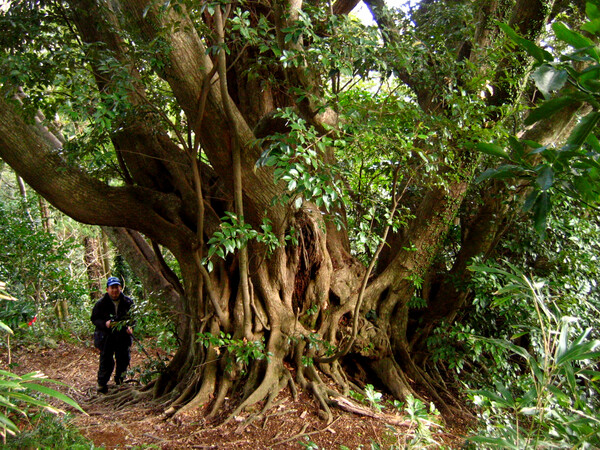 南郷巨樹の森「海の見えるシイ」