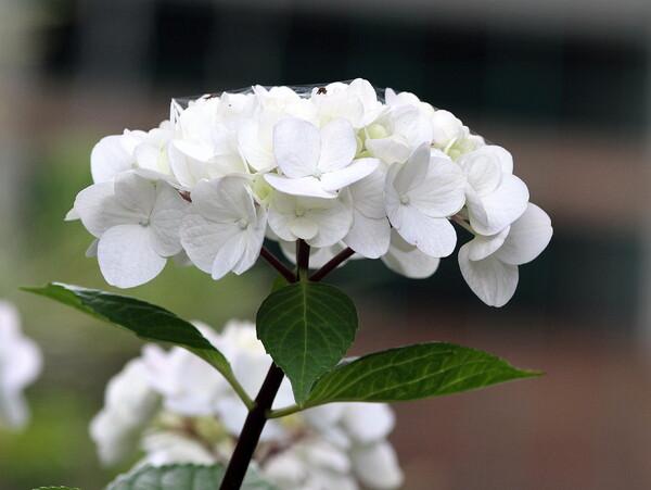 白い花アジサイ