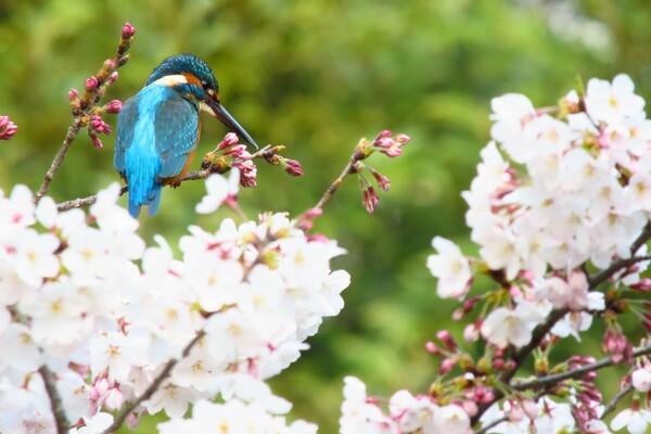 桜かわせみ