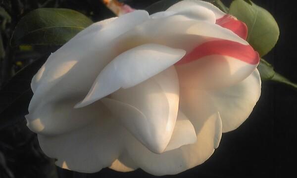 紅白の椿。