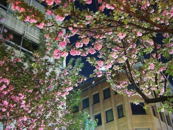 夜の八重桜