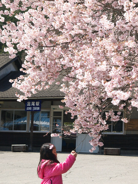 【桜】 足尾の春