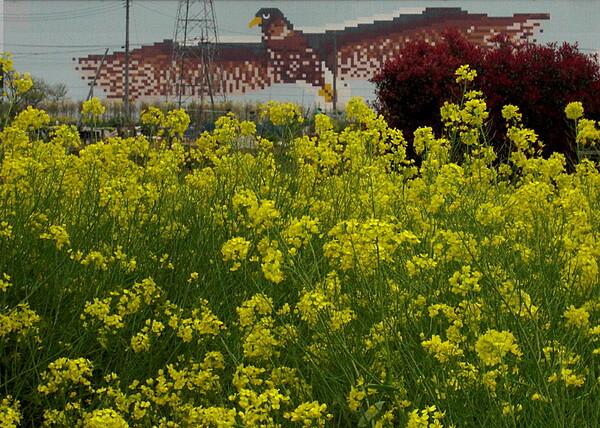 菜の花ある風景