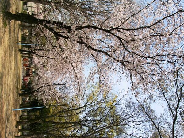 【桜】大阪はやっと…【満開】