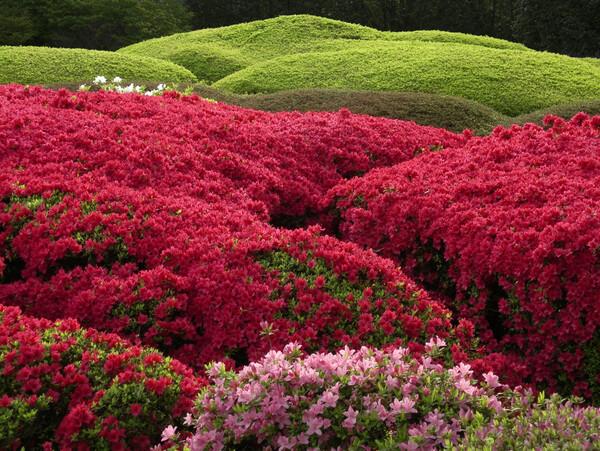 【花のある情景】神代植物公園のつつじ