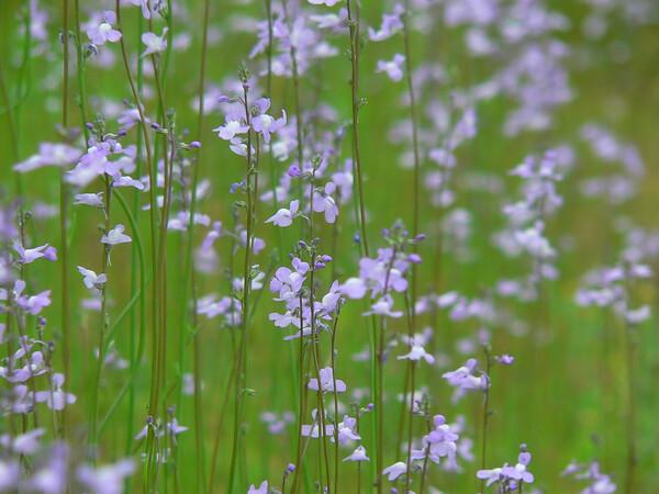 紫の花のそよ風・・・