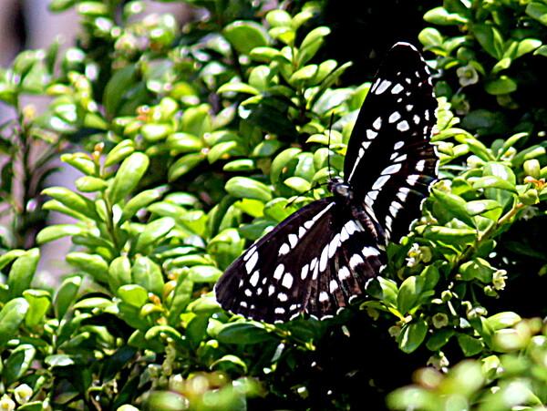 【生き物景色】コミスジチョウ