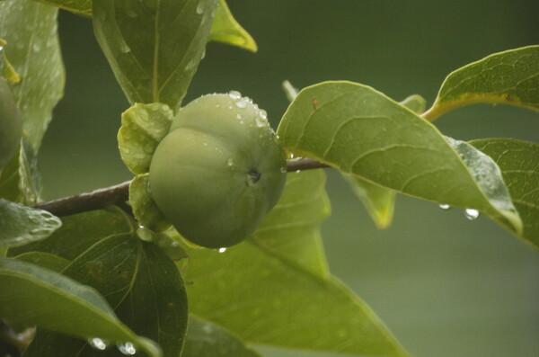【歓】柿の木