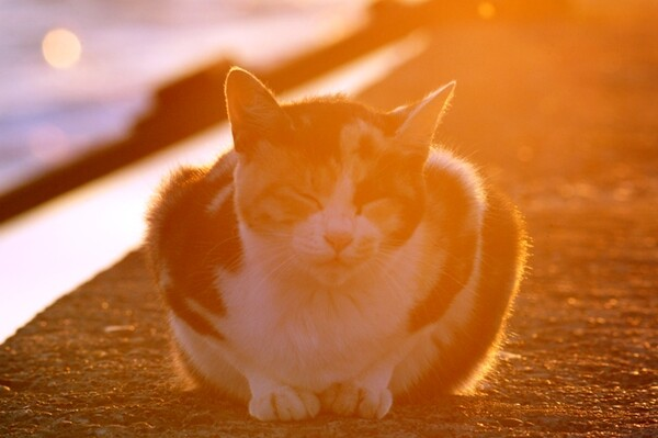【猫】オレンジ色の三毛