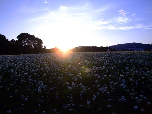 「光」シロツメクサ畑の入日