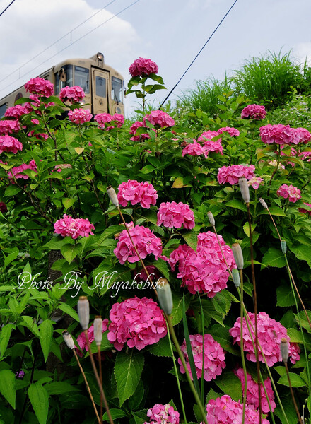 紫陽花と京丹