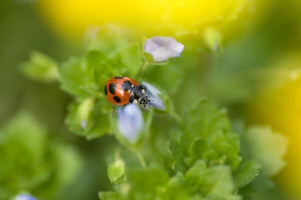 春だ!菜の花、テントウ虫だ!