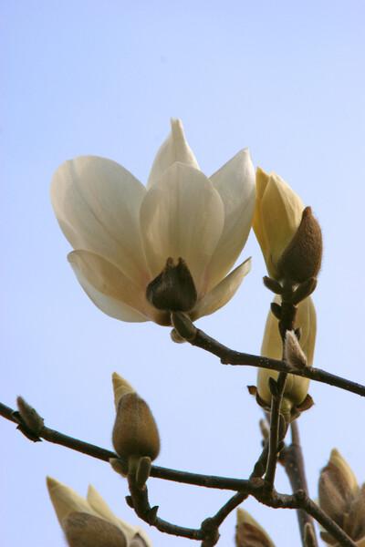 木蓮開花2