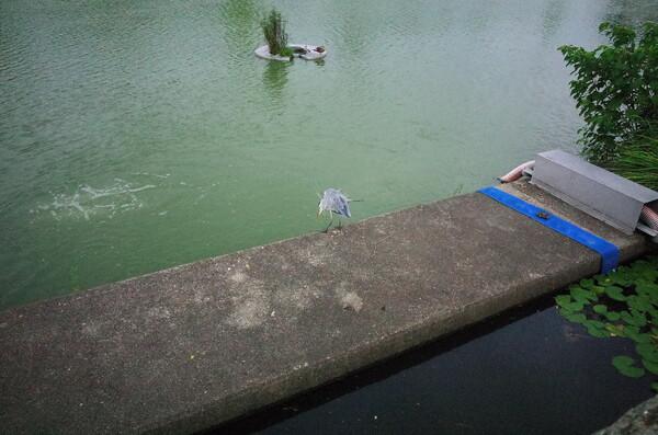 魚を狙っているアオサギ