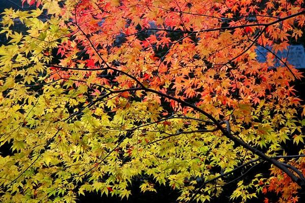 紅葉は山から里へ