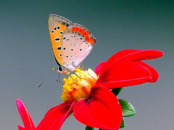 ベニシジミ蝶のIP