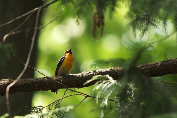 夏鳥の残り香・・キビタキ