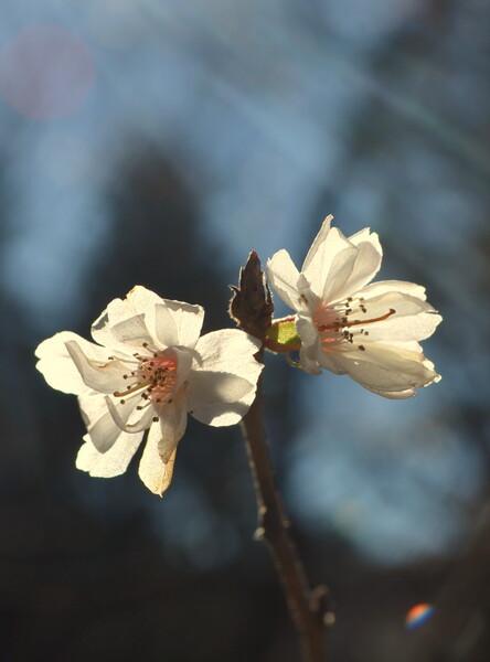 12月30日の桜
