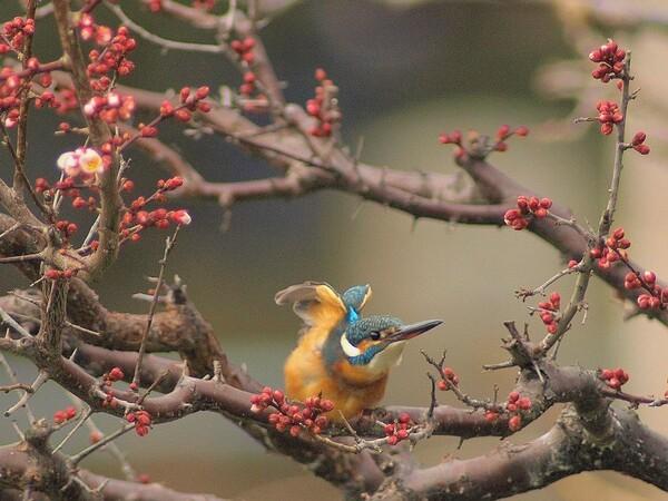 「蕾梅の枝で伸びする翡翠かな」