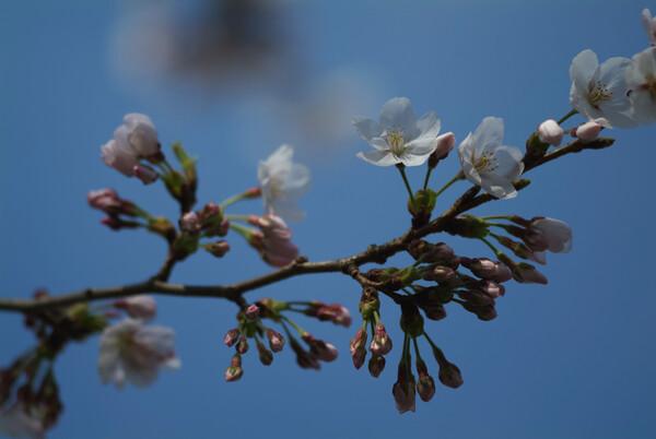咲きたての桜