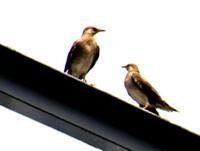 遠い鳥をトリミングUP