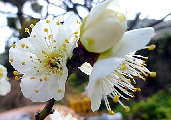 梅の花UP