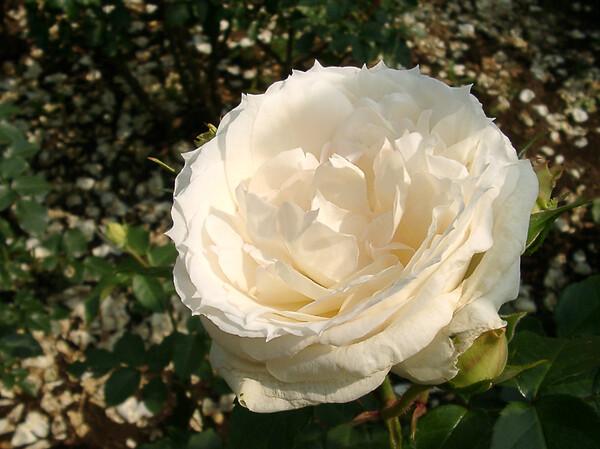 ★09春バラ・セレクション-78