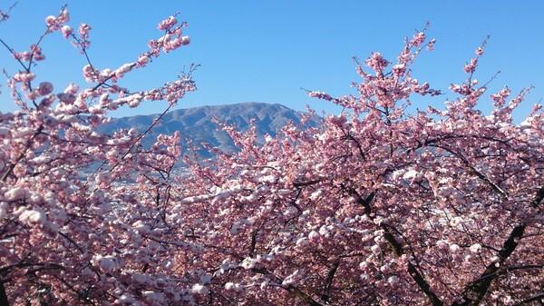 まさかの雪桜