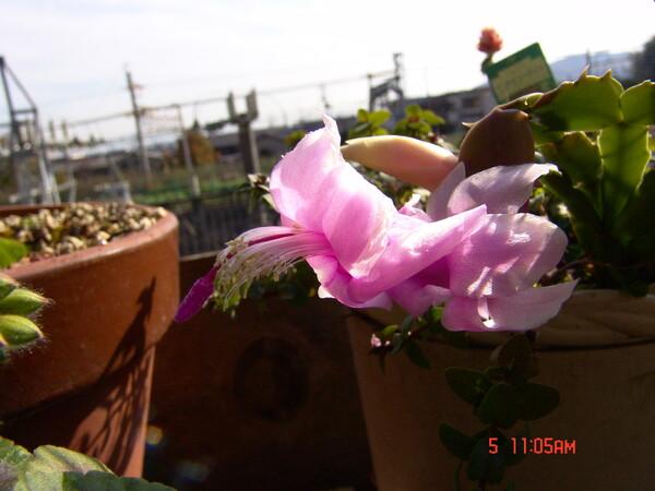 シャコバサボテン、白い花