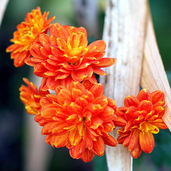 小さな菊の花