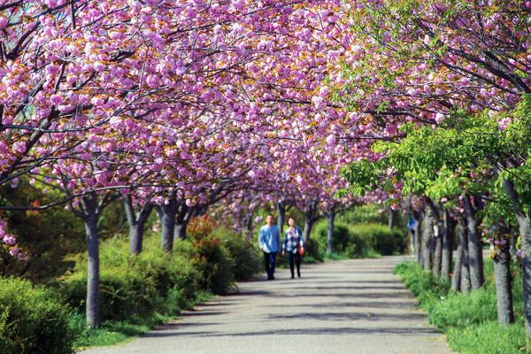 【花のある風景】八重桜の二人