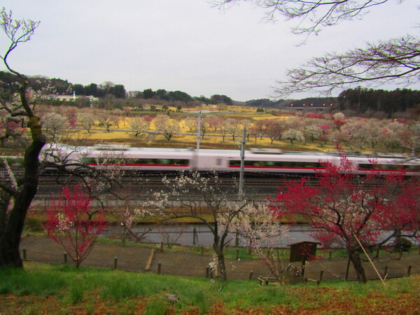 走る列車と梅