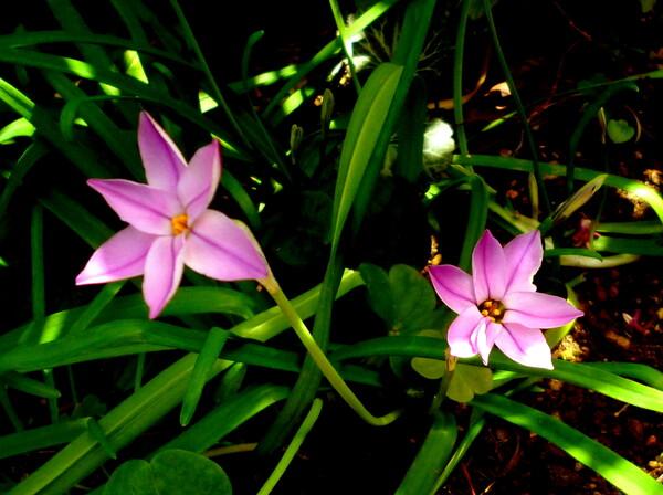 ピンクのハナニラ