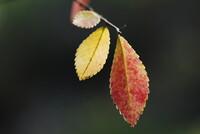 晩秋の紅葉③