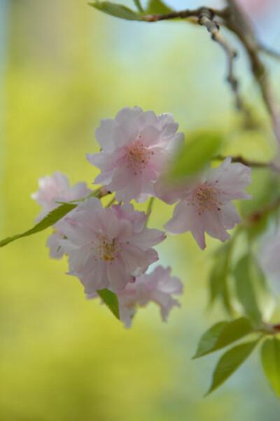 今はこの桜
