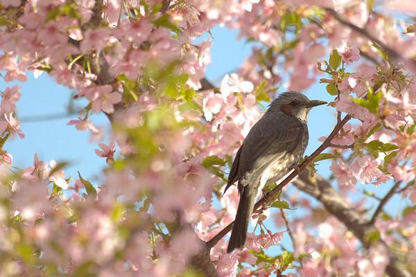 「春」桜とヒヨドリ