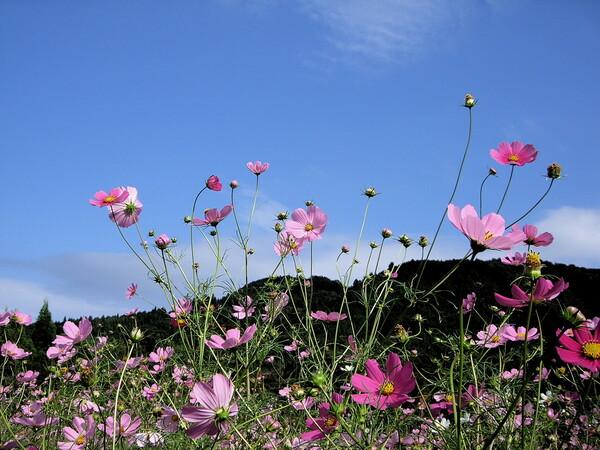 【花のある情景】 コスモス