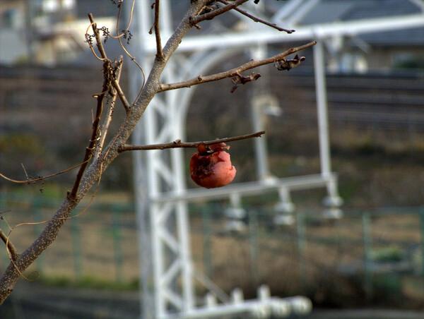 落ちない柿
