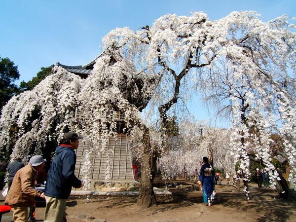 枝垂れ桜には和服が似合う