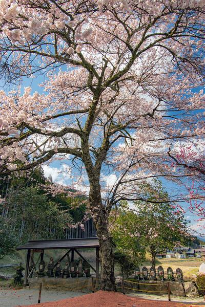 【花のある風景】桜と地蔵