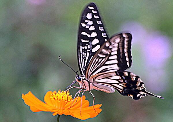 【横顔】蝶