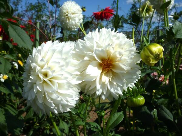 【花のある情景】白ダリア