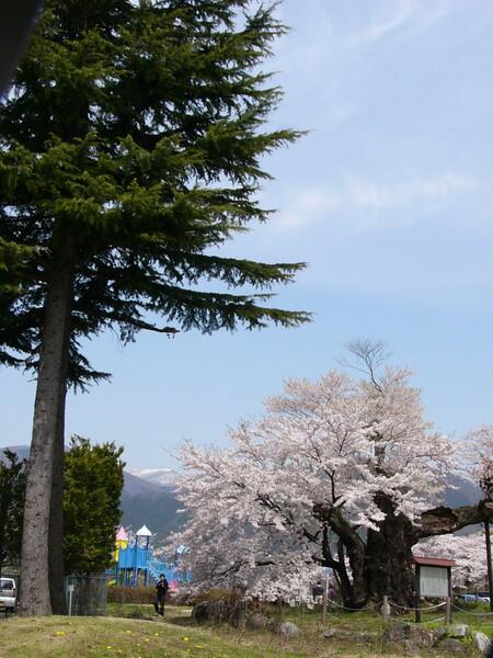 さかさ桜 別アングル #2