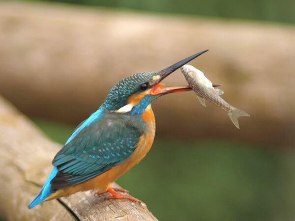 「丸呑み直前、魚の方向転換、漁翡翠」