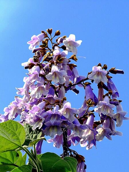 【Purple】桐の花
