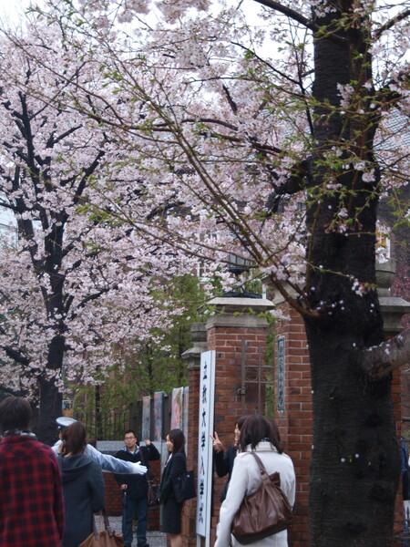 【桜】入学式2