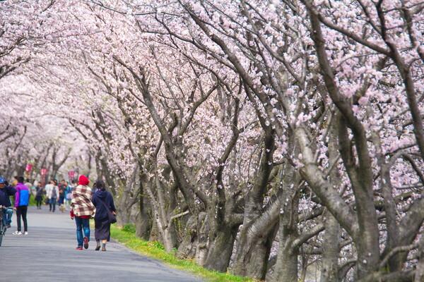 桜並木の旅人