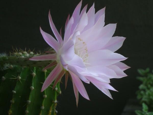 でかいサボテンのピンクの花