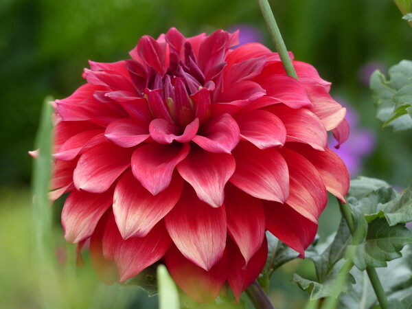 ダリアの花のUP