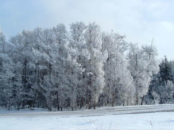 木に霜がついて真っ白